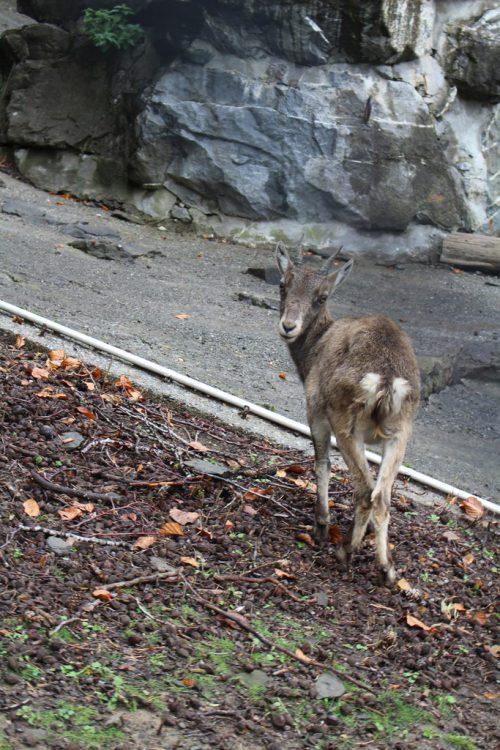Steingeiß Yuna ist nunin der Obhut neuer Tierpaten.