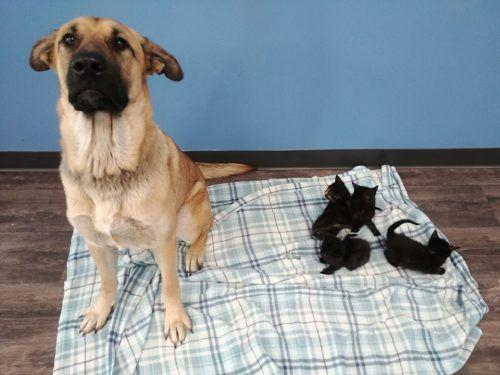Auch im Tierheim kümmert sich die Hündin weiterhin um die Katzenbabys.AFP