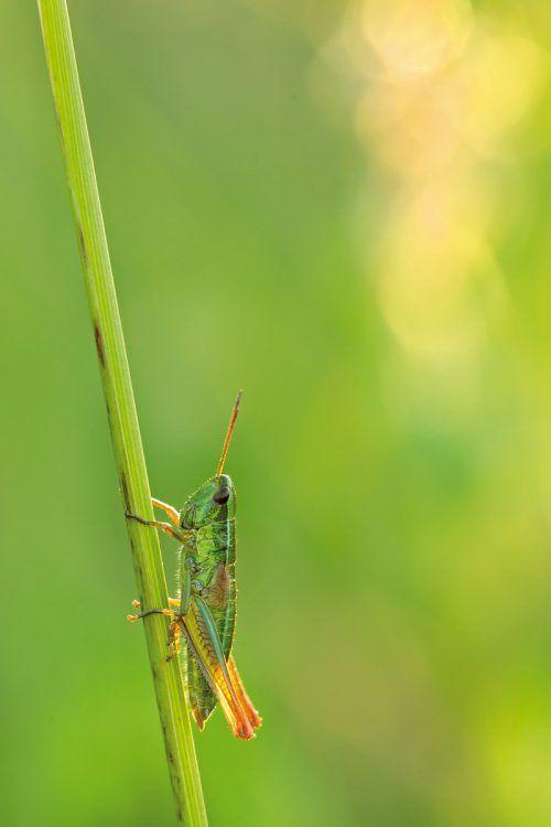 Der Dickkopffalter, der Zipfelfalter, der Blauäugige Waldportier oder die Kleine Goldschrecke sind mittlerweile selten geworden. Zu den wenigen Arten, die bisher kaum zurückgegangen sind, zählt laut Studie die Beerenwanze (l.). TUM, Uni Salzburg