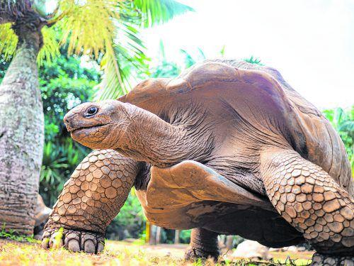 Die riesigen Tiere findet man auf der Insel Ile aux Aigrettes.