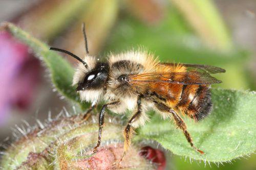 Die rote Mauerbiene ist eine der Wildbienenarten. Diese sollen künftig besonders geschützt werden.APA