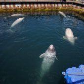 Letzte Tiere aus russischem Wal-Gefängnis wieder in Freiheit