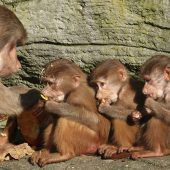 Hungrige kleine Affen