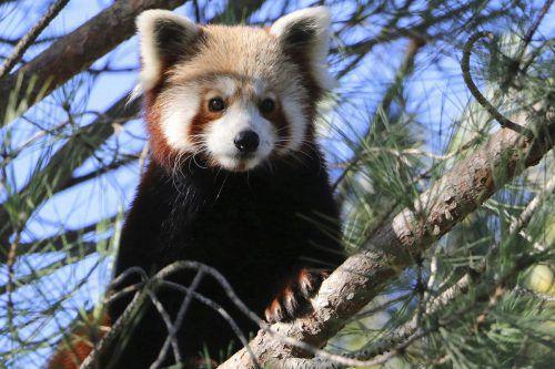 In den Arm nehmen sollten Finder den Panda aber lieber nicht. AP