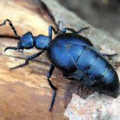 Käfer für Giftmord und Liebestrank