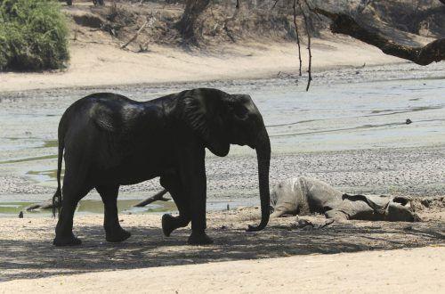 Mindestens 105 Elefanten sind in den letzten zwei Monaten in den Wildtierreservaten Simbabwes verendet. AP