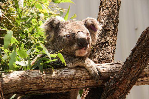 Bei den schweren Buschbränden in Australien sind über 2000 Koalas verbrannt. Laut WWF ist ihre Zahl in den vergangenen 25 Jahren um rund ein Drittel geschrumpft. AFP