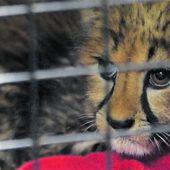 Baby-Gepard überlebt Not-OP