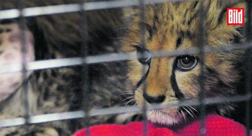 Der kleine, vier Monate alte Gepard überlebte die Strapazen. Bild.de