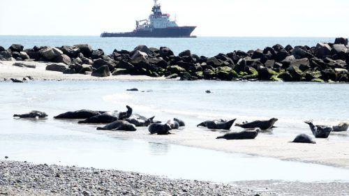 Die Kegelrobbe galt als ausgerottet, nachdem 1920 das letzte Exemplar in deutschen Gewässern erlegt wurde. Nun sind 38.000 Robben an der Ostsee gezählt worden. DPA