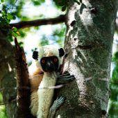 Lemuren: einzigartig auf Madagaskar