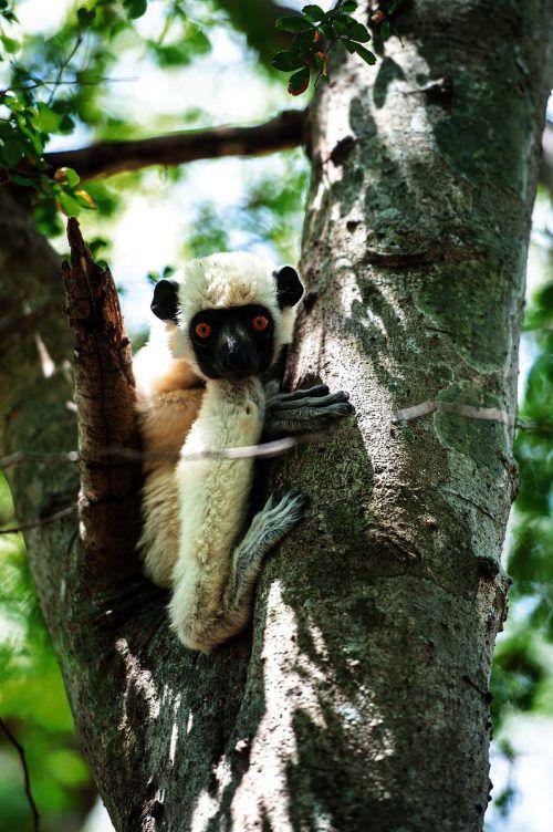 Die Lemuren halten sich am liebsten in Bäumen auf. Beate Rhomberg
