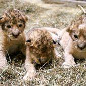 Süßes Löwen-Trio