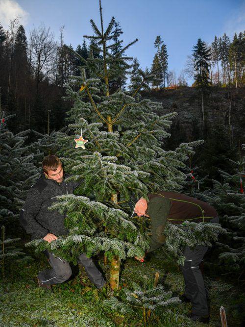 In der Adventzeit klingelt das Telefon bei Hans Schwendinger (r.) öfter als sonst. Viele lassen sich ihren persönlichen Christbaum reservieren. VN/Lerch