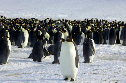 Kaiserpinguine leben in Kolonien auf dem Packeis in der Antarktis. Reuters