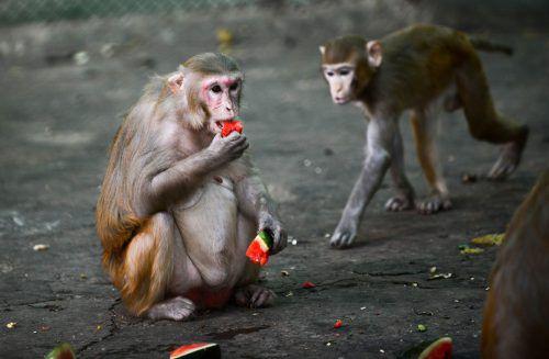 Menschenaffen können kein Vitamin C herstellen, sie müssen es mit der Nahrung aufnehmen.AFP