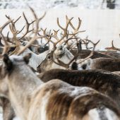 Wieder mehr Rentiere auf Spitzbergen