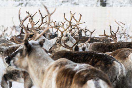 Um 1900 waren die Rentiere auf Svalbard mehr oder weniger ausgerottet. AP