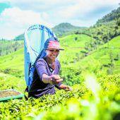 Teeplantagen besichtigen