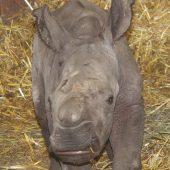 Drittes Nashorn in nur vier Monaten