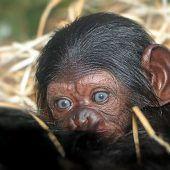 Nachwuchs bei den Schimpansen