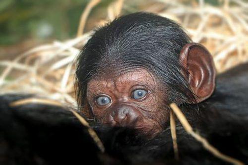 Der noch namenlose Schimpanse kam am Neujahrstag zur Welt. Zoo Pilsen