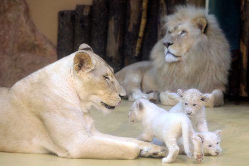 Die drei kleinen weißen Löwen entwickeln sich prächtig. dpa