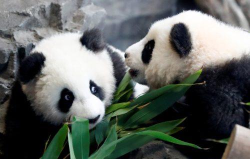 Die Zwillinge sind der erste Panda-Nachwuchs in einem deutschen Zoo. Rts