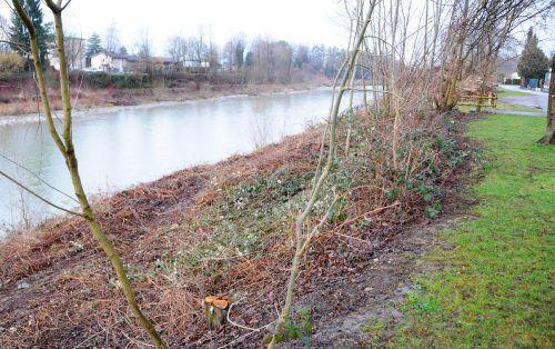 Für den Hochwasserschutz wird an der Bregenzerach Ufergehölz entfernt.