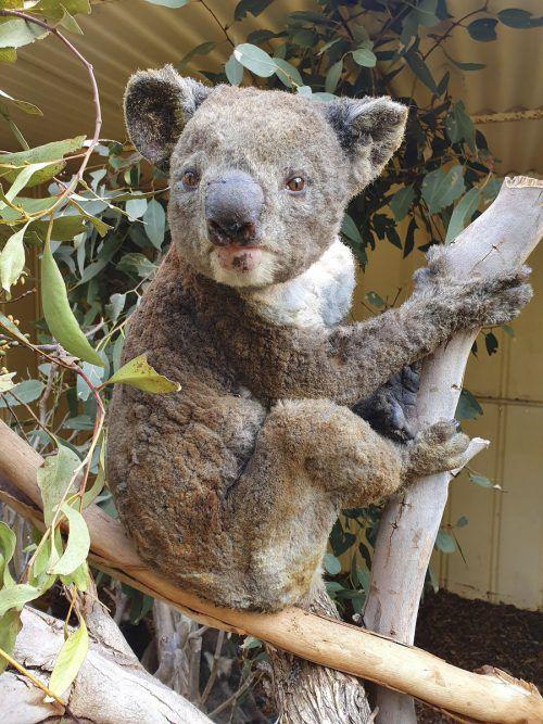 Hunderte Millionen Tiere sind durch die Feuer verendet. Daniella Teixeira ist eine von vielen australischen Tierschützern, die versuchen, verletzte Tiere zu retten. AP