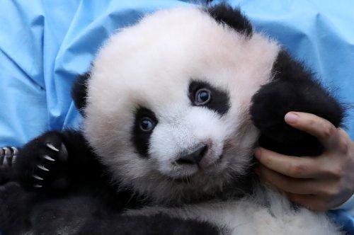 Im Tierpark Pairi Daiza leben insgesamt fünf Riesenpandas. Reuters
