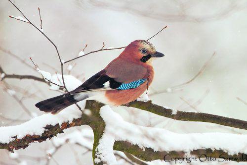 Sehr viele Vögel verbringen den Winter in Österreich.O. Samwald