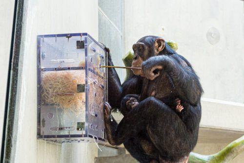 Vergangenen August brachte Schimpansin Benga (40) Tochter Qisenge zur Welt.