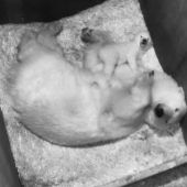Schönbrunner Eisbärenbaby unternimmt erste Schritte