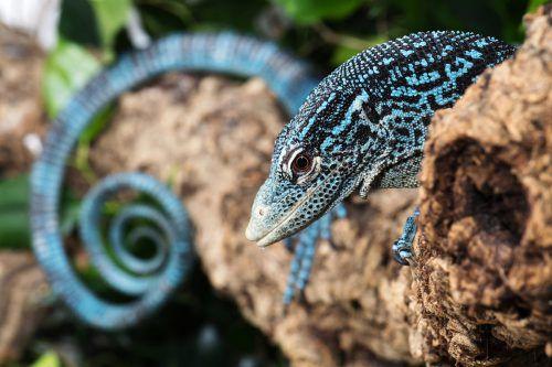 Der Blaue Baumwaran kommt ausschließlich auf der Insel Batanta in Westpapua vor.