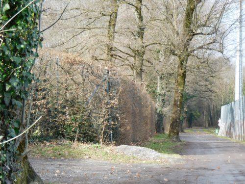 Der Eschenpilz breitet sich im Auwald weiter aus und stellt schlussendlich eine Gefahr für die Spaziergänger dar. Michael MÄser