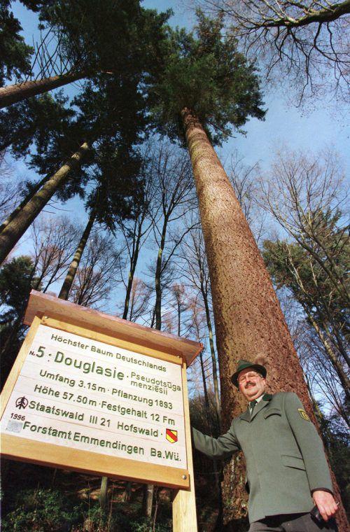Die Douglasie soll bald schon den Vorarlberger Wald bereichern. AP