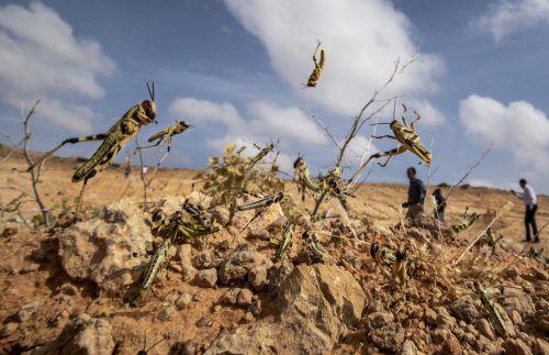 Die Heuschrecken verwüsten in Ostafrika ganze Landstriche. AP