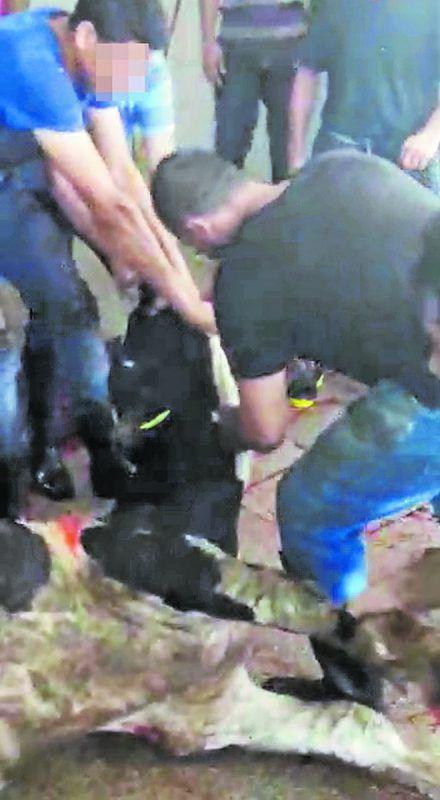 Die Kälber werden zur Lederproduktion geschlachtet. Animal international