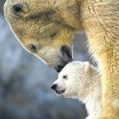 Süßes Eisbären-Jungtier zeigt sich erstmals im Schönbrunner Tiergarten. D8