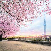 Japan zur Kirschblüte im Frühjahr