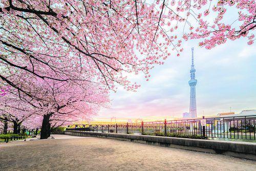 Jedes Frühjahr strahlen die Kirschbäume in zartem Rosa. Ein Highlight für Touristen.