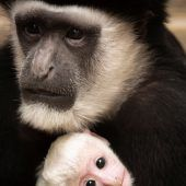 Viele Mamas für das Affenbaby