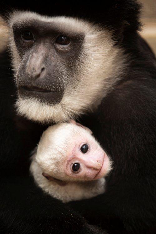 Junge Mantelaffen entwickeln erst später die typische Fellzeichnung. Reuters