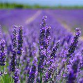 Lavendel vor den Vorhang