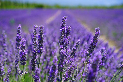 Lavendel sieht nicht nur hübsch aus, er hat auch vielfältige Kräfte.pixabay