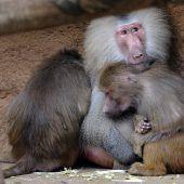 Pavian entführt Löwenbaby und will es großziehen