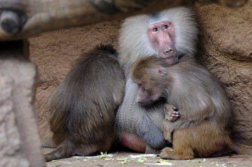 Paviane kümmern sich besonders intensiv um ihren Nachwuchs. DPA