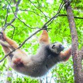 "<p class=""caption"">Auch andre Lemurenarten, wie den Diademsifaka, sieht man im Osten Madagaskars.</p>"