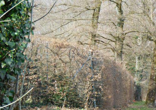 Auch in Röthis mussten zahlreiche erkrankte Bäume gefällt werden.mäser